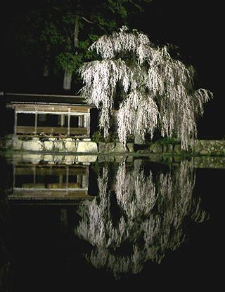 青屋神明神社の枝垂れ桜